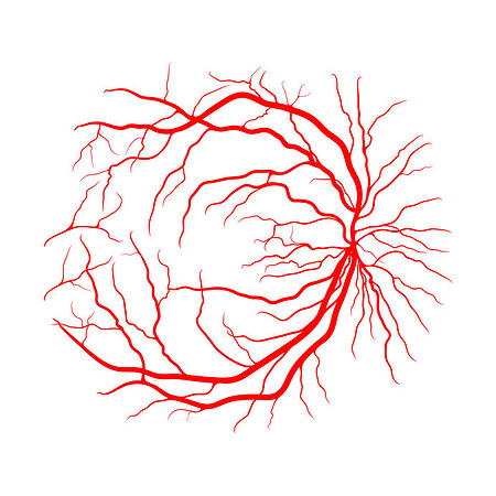 Retinal blood supply evaluation retinal ganglion cells vascularization