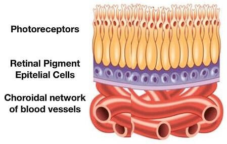 Retinal blood supply choroidal vessels photoreceptors