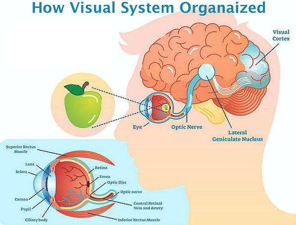 Retina Optic Nerve Visual Cortex Fedorov Restore Vision Clinic