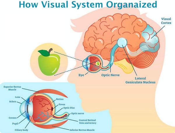 Retina Optic Nerve Visual Cortex Fedorov Restore Vision Clinic