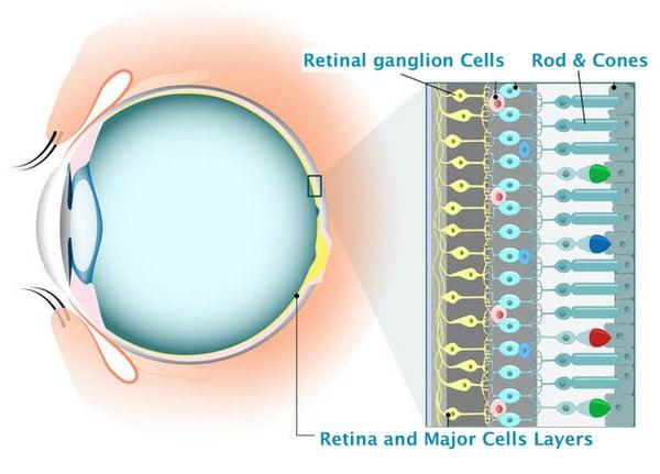 Retina and retinal cells Ganglion cells regeneration