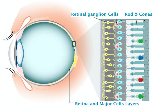 Retina and retinal cells Ganglion cells regeneration